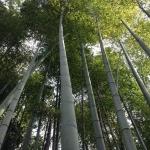 bambootrees-e1378857491461
