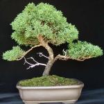 aob_149_juniperus_chinensis