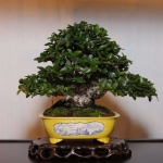 best-tree-pot-combination-mark-and-rita-cooper-shohin-pyracantha-in-takao-koyo-pot